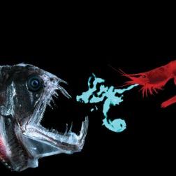 Acanthephyra shrimp defends against dragonfish