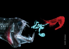 Acanthephyra shrimp defends against dragonfish